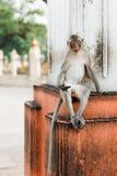 猴子在Lopburi,泰国 库存照片