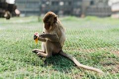 猴子在Lopburi,泰国 免版税图库摄影