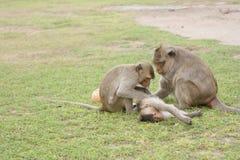 猴子在Lopburi 免版税库存照片