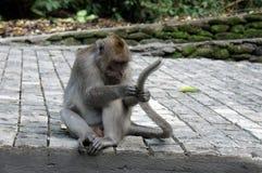 猴子在Ubud森林,巴厘岛里 免版税图库摄影