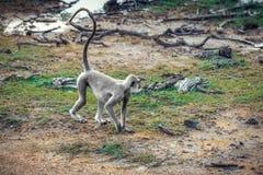 猴子在Yala国家公园 免版税图库摄影