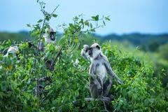 猴子在Yala国家公园 库存图片
