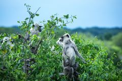 猴子在Yala国家公园 库存照片