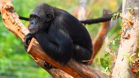 猴子坐'认为'的树干 免版税库存图片