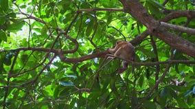 猴子坐一个树枝在密林 亚洲的热带森林 股票录像