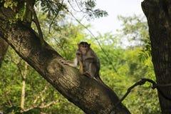 猴子坐一棵树在位于孟买的桑贾伊・甘地国家公园森林里 库存图片