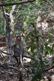 猴子坐分支在照片写真姿势 库存图片