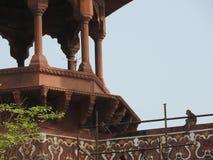 猴子坐在泰姬陵之外的墙壁在阿格拉,印度 免版税图库摄影
