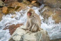 猴子坐岩石在河 库存照片