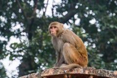 猴子坐石头并且看  免版税库存照片