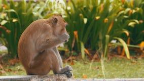 猴子坐碎吃食物在Khao Kheow开放动物园 泰国
