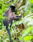 猴子基巴莱国家公园在Fort Portal附近的西乌干达 库存照片