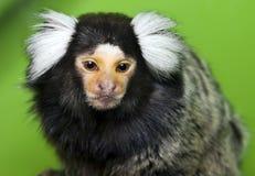猴子小猿 免版税库存图片
