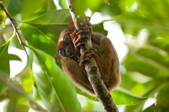 猴子少见tarsier 免版税图库摄影