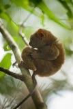 猴子少见tarsier 免版税库存图片