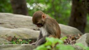猴子崽在密林 影视素材