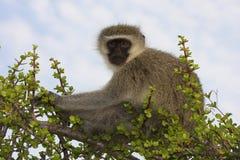 猴子放松坐vervet 免版税库存照片