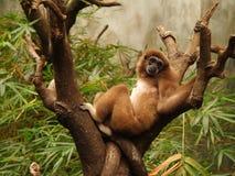 猴子斜倚 免版税图库摄影