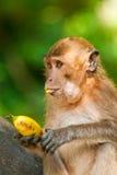 猴子暴饮暴食纵向 库存照片