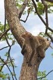 猴子泰国结构树 图库摄影