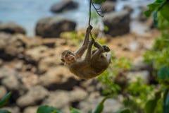 猴子海滩泰国螃蟹吃短尾猿猕猴属fascicularis Al 库存照片