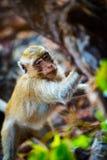 猴子海滩泰国螃蟹吃短尾猿猕猴属fascicularis Al 库存图片