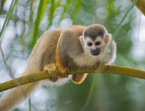 猴子灰鼠 免版税图库摄影