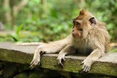 猴子的画象 免版税图库摄影