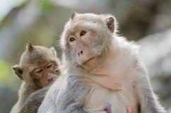 猴子系列  免版税图库摄影