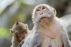 猴子系列  免版税库存照片