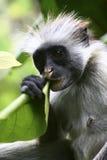 猴子红色 库存照片