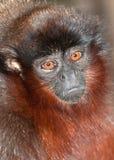 猴子纵向伶猴 图库摄影