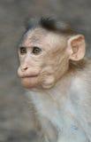 猴子纵向 免版税库存照片
