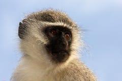 猴子纵向vervet 免版税库存图片