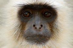 猴子细节画象 共同的叶猴, Semnopithecus entellus,猴子,自然栖所,斯里兰卡画象  与l的哺养的场面 免版税图库摄影