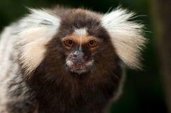 猴子绢毛猴 库存图片
