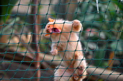 猴子绢毛猴 库存照片