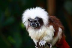 猴子绢毛猴 免版税库存图片