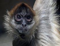 猴子蜘蛛 免版税库存图片