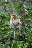 猴子象鼻 库存图片