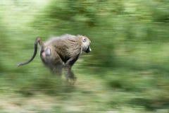 猴子运行中 库存图片