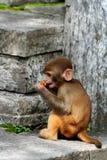 猴子 免版税库存照片
