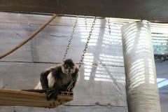 猴子Chillin& x27; 图库摄影