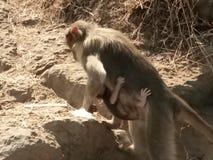 猴子m 免版税库存图片