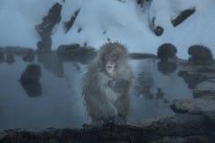 猴子onsen 免版税图库摄影