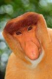猴子probocis 免版税库存照片