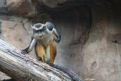 猴子s狼 库存图片