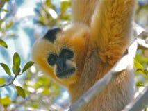 猴子siamang 库存照片