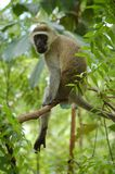猴子vervet 免版税库存图片