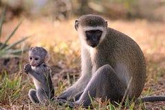 猴子vervet 免版税图库摄影